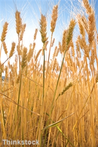 Many with celiac disease go undiagnosed due to lack of testing