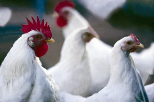 Nutrient in poultry may benefit women with high cholesterol