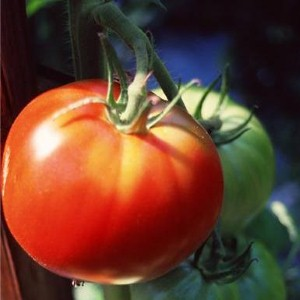 Nutrient in tomatoes may contribute to healthier cholesterol levels