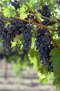 Resveratrol makes prostate cancer cells susceptible to radiation